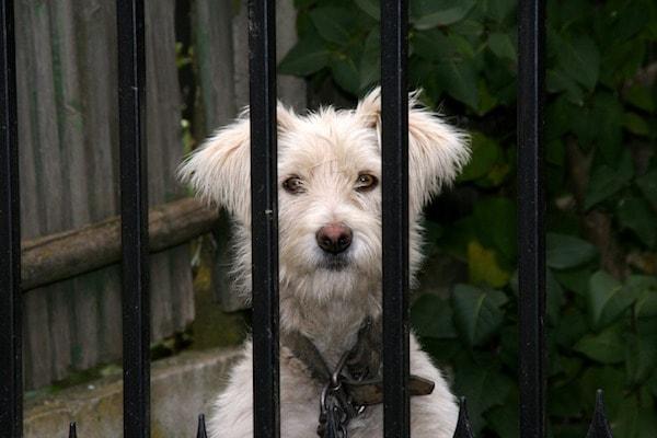pet theft - dog behind fence