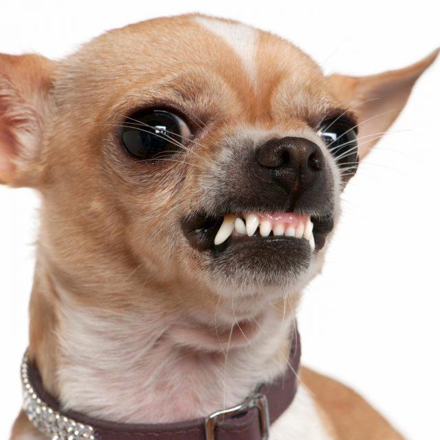 aggressive breed of dog