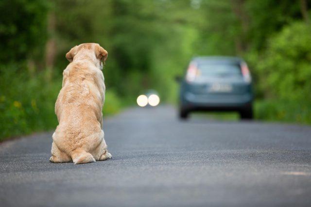 dog getting hit by car