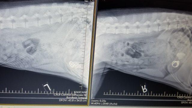 goldendoodle intestinal blockage