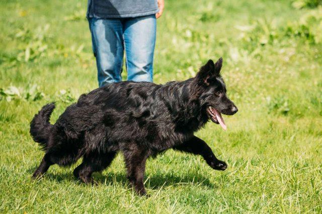 black GSD dogs
