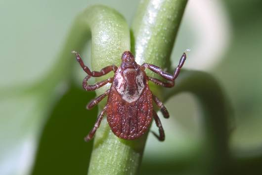Lyme Disease & Dogs: The Facts, Signs, & Prevention