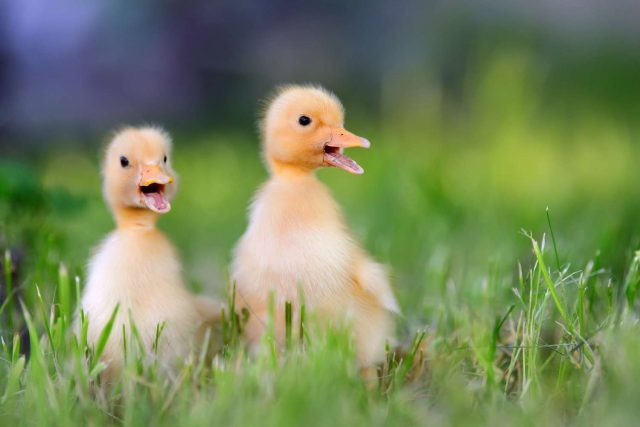 baby chicks as easter gift