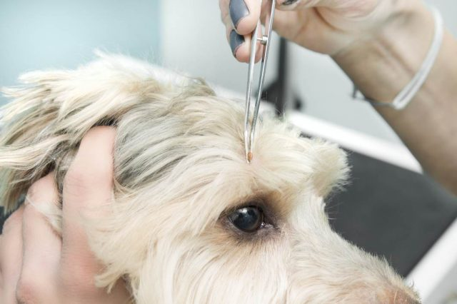 how to remove a tick from dog