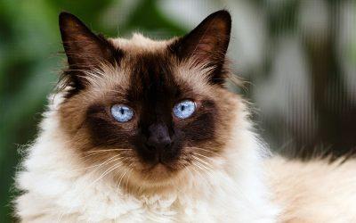 Spotlight on: Himalayan Cats