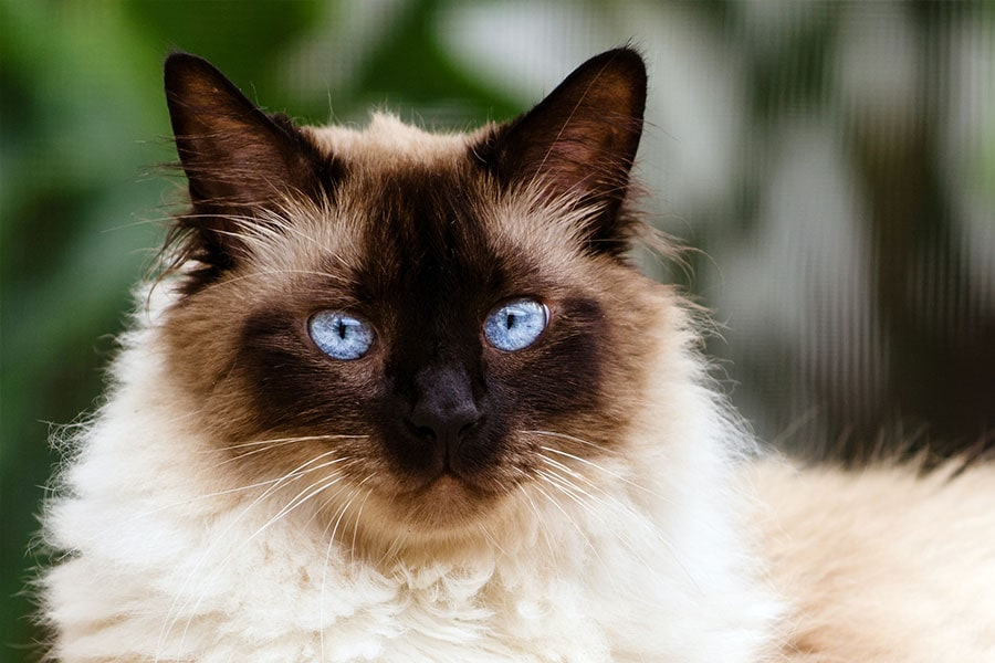 Spotlight on: Himalayan Cats