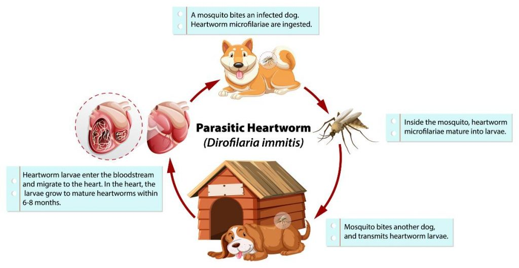 the lifecycle of heartworms