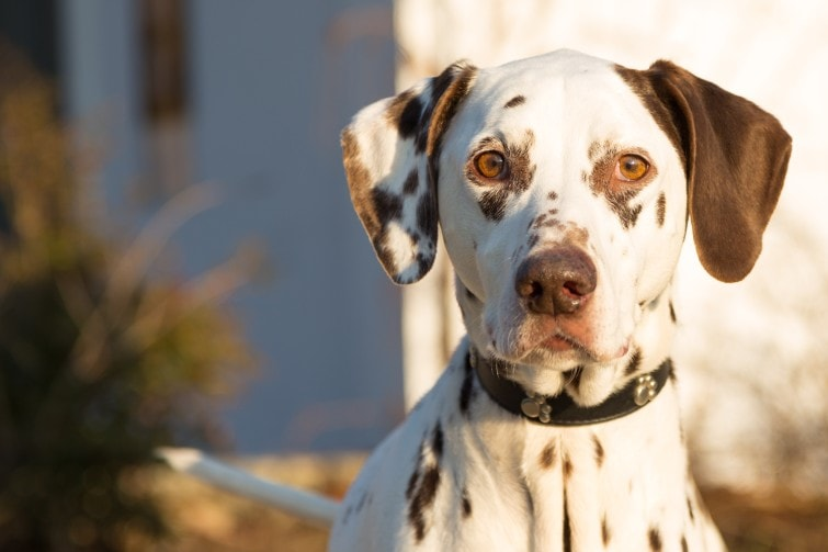 dalmation dogs as pets