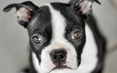 Spotlight on: Boston Terriers