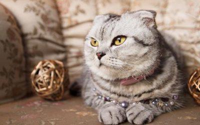 Spotlight on: Scottish Fold Cats