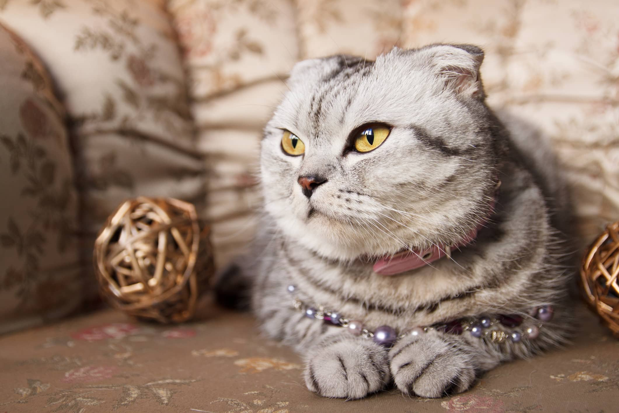 Spotlight on: Scottish Fold Cats