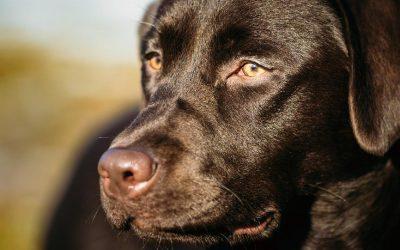 Spotlight On: Labrador Retrievers