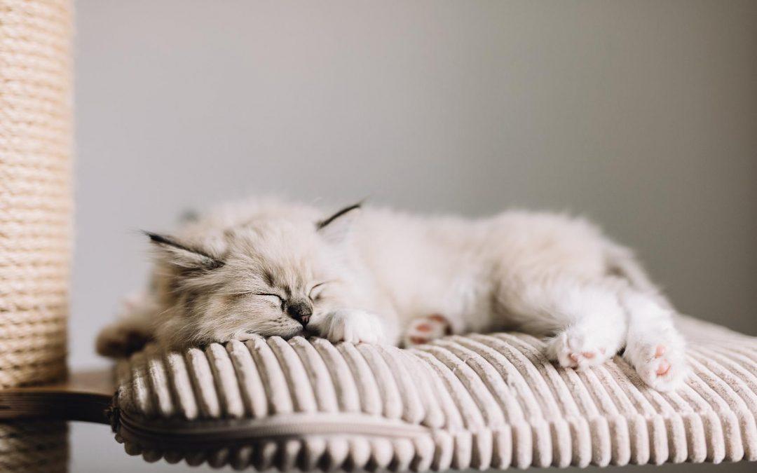 Spotlight On: Ragdoll Cats